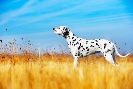 dalmatian in a field