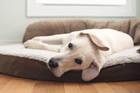white dog resting on dog bed