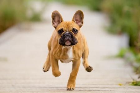 french bulldog running