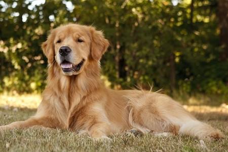 golden retriever sitting on grass