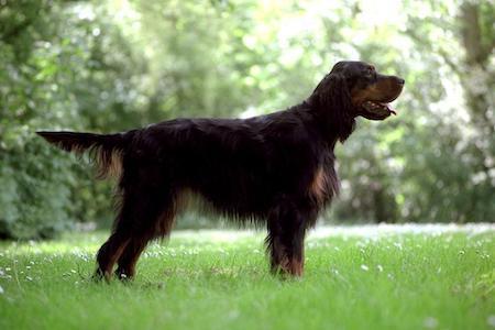 black and brown gordon setter