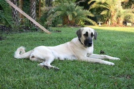 tired kangal shepherd dog
