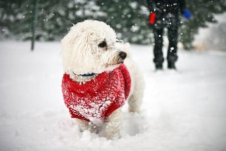 maltichon in snow