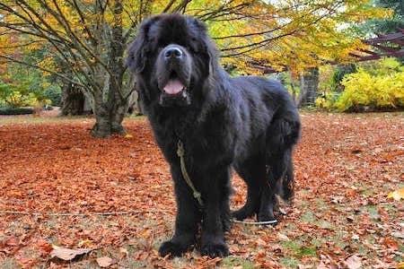 newfoundland dog standing on orange leaves