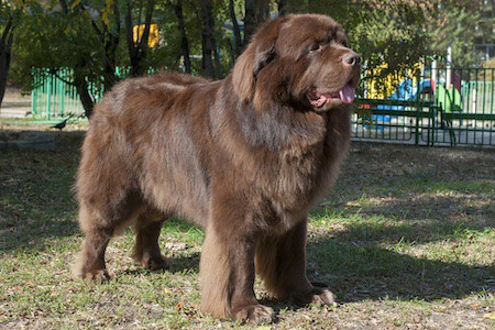 brown newfoundland dog in the park