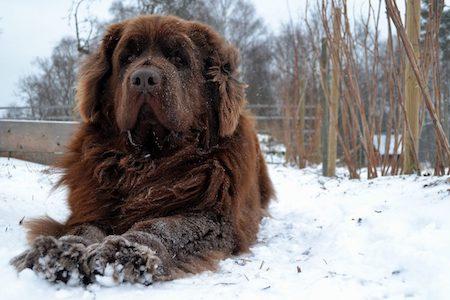 newfoundland dog on snow