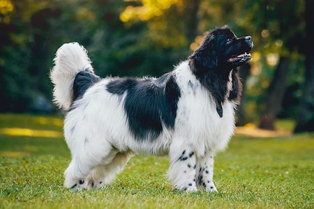 newfoundland dog on lawn