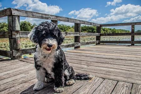 portuguese water dog sitting on the boardwalk