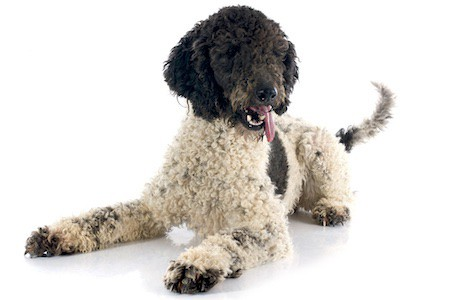 portuguese water dog in a white background