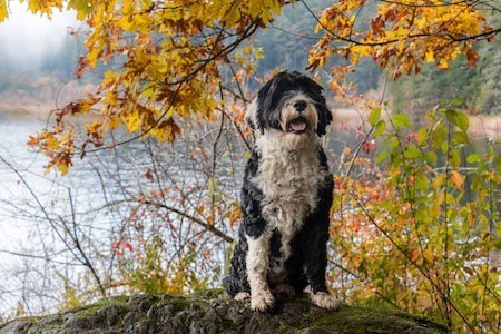 portuguese water dog in front of the lake
