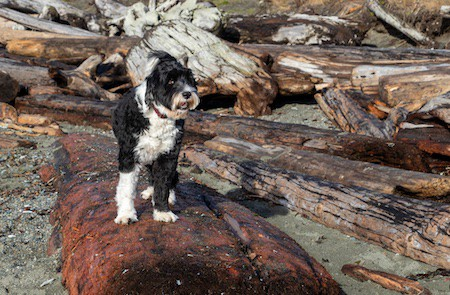 portuguese water dog standing on a driftwood log at the beach