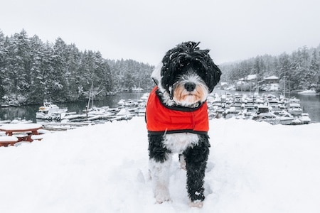 portuguese water dog in snow