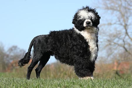 black and white portuguese water dog