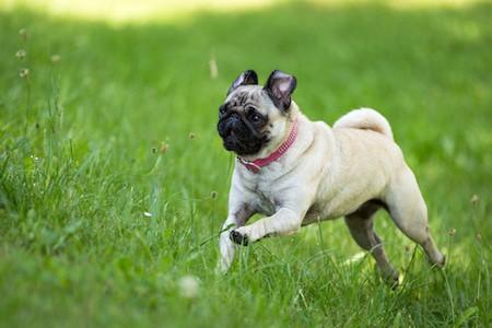 pug running through a green meadow