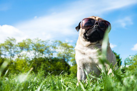 pug sitting on nature in sunglasses