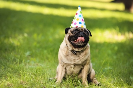 pug with birthday cap sitting on the grass in park