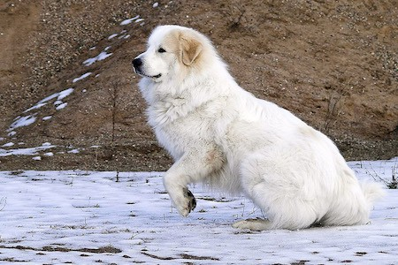 pyrenean mountain dog playing in snow