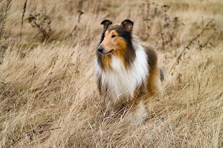 rough collie on brown grass