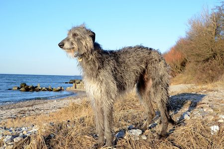 scottish deerhound on beach