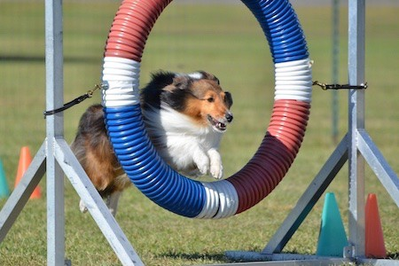 shetland sheepdog doing agility trial