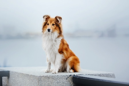 shetland sheepdog in front of sea