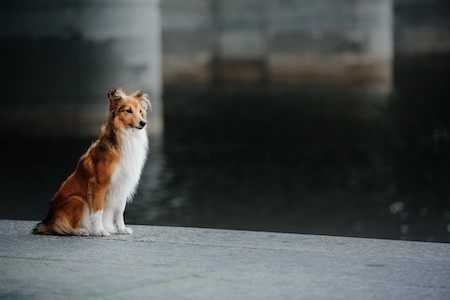 shetland sheepdog beside the river