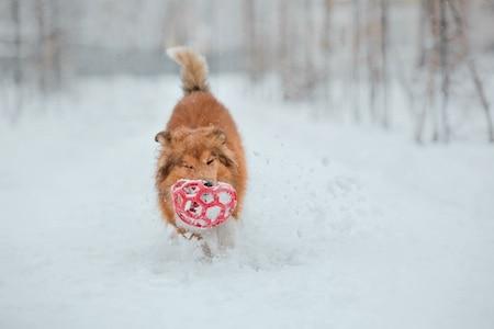 shetland sheepdog playing on snow
