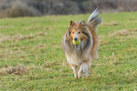 shetland sheepdog running with a tennis ball in its mouth