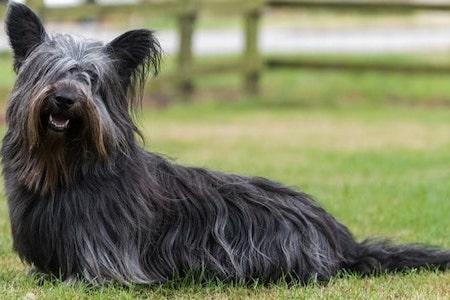 black skye terrier