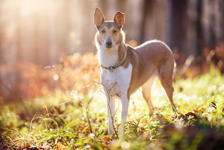 smooth collie in forest
