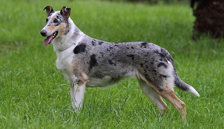 spotted smooth collie