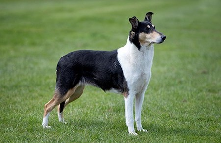 black and white smooth collie