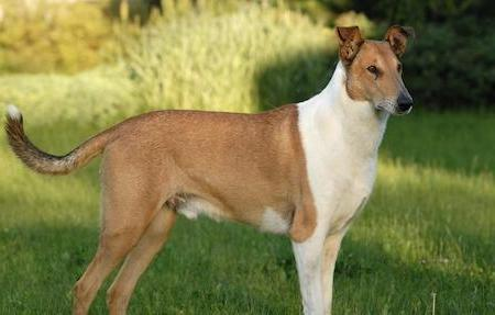 standing smooth collie
