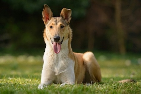 smooth collie on grass