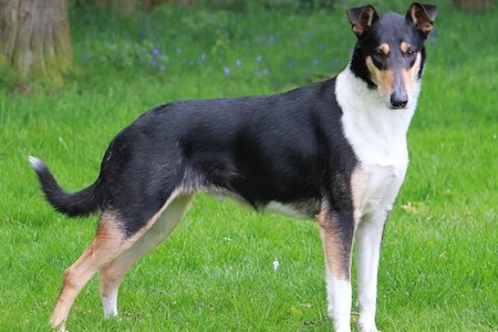 smooth collie standing upright