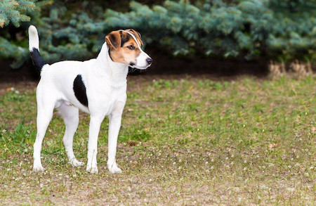 smooth fox terrier on grass