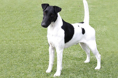 black and white smooth fox terrier