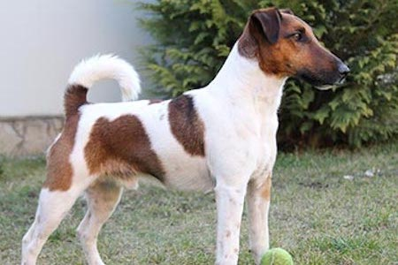 smooth fox terrier playing with a ball