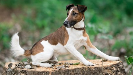 smooth fox terrier sitting on wood