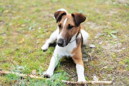 smooth fox terrier lying down