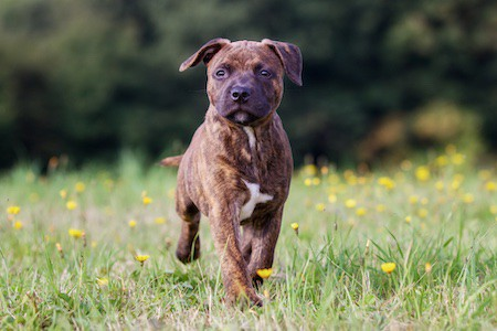 staffordshire bull terrier puppy walking on grass
