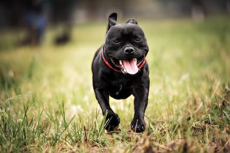 staffordshire bull terrier running