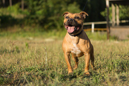 staffordshire bull terrier posing in a park at the sunset