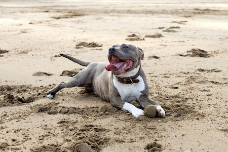 staffordshire bull terrier with playing with ball on the beach