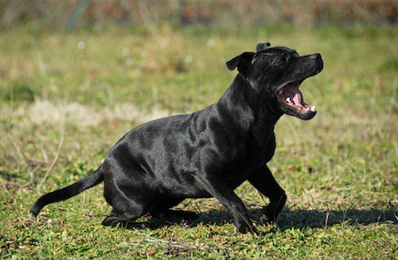 staffordshire bull terrier yawning in a field