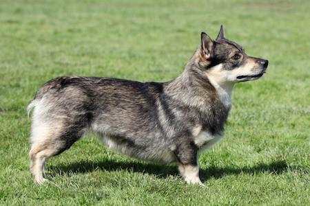 swedish vallhund on grass