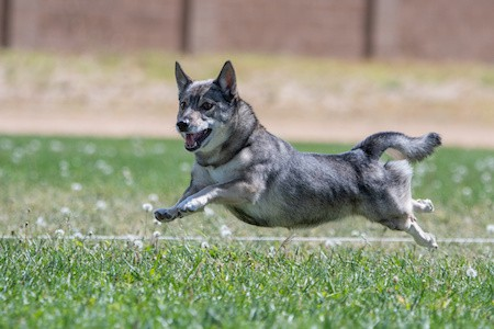 swedish vallhund chasing a lure in a race