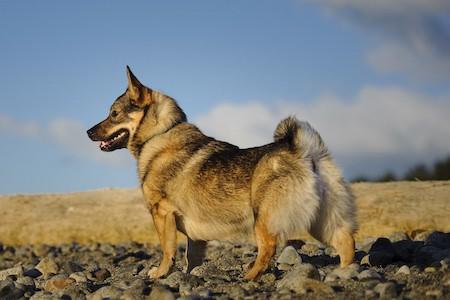 swedish vallhund standing on stones