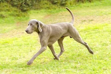 weimaraner running on lawn