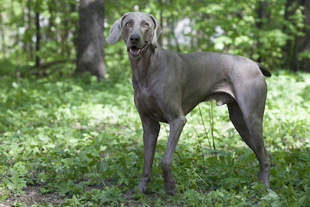 weimaraner on outdoors